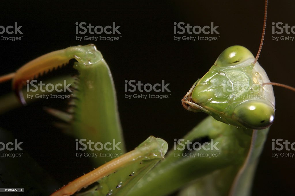 Mantis - Are you afraid royalty-free stock photo