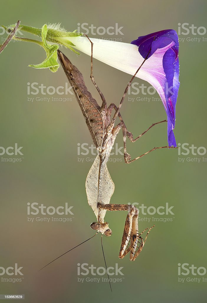 Mantis hanging from morning glory stock photo