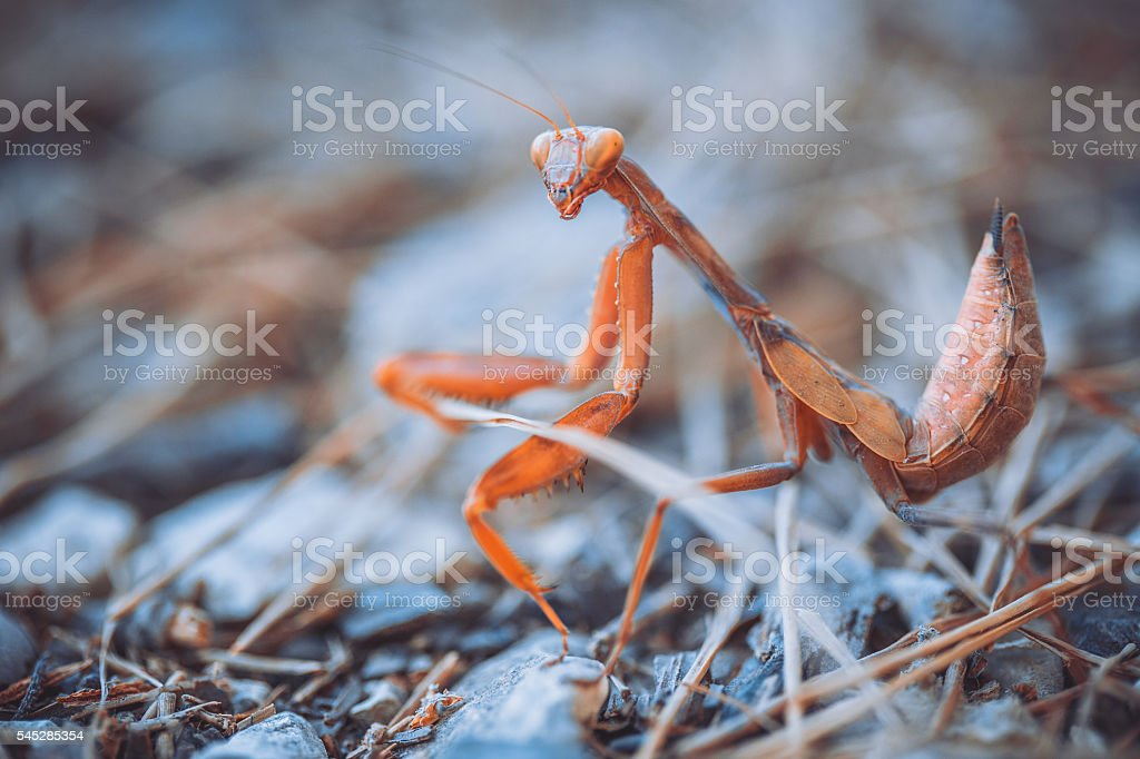 mantis  in the attacking pose stock photo