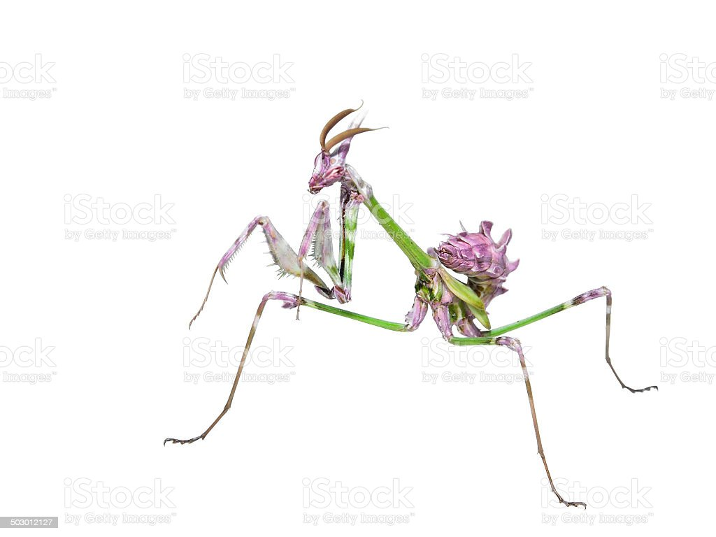 Mantis insect predator in hunting pose stock photo