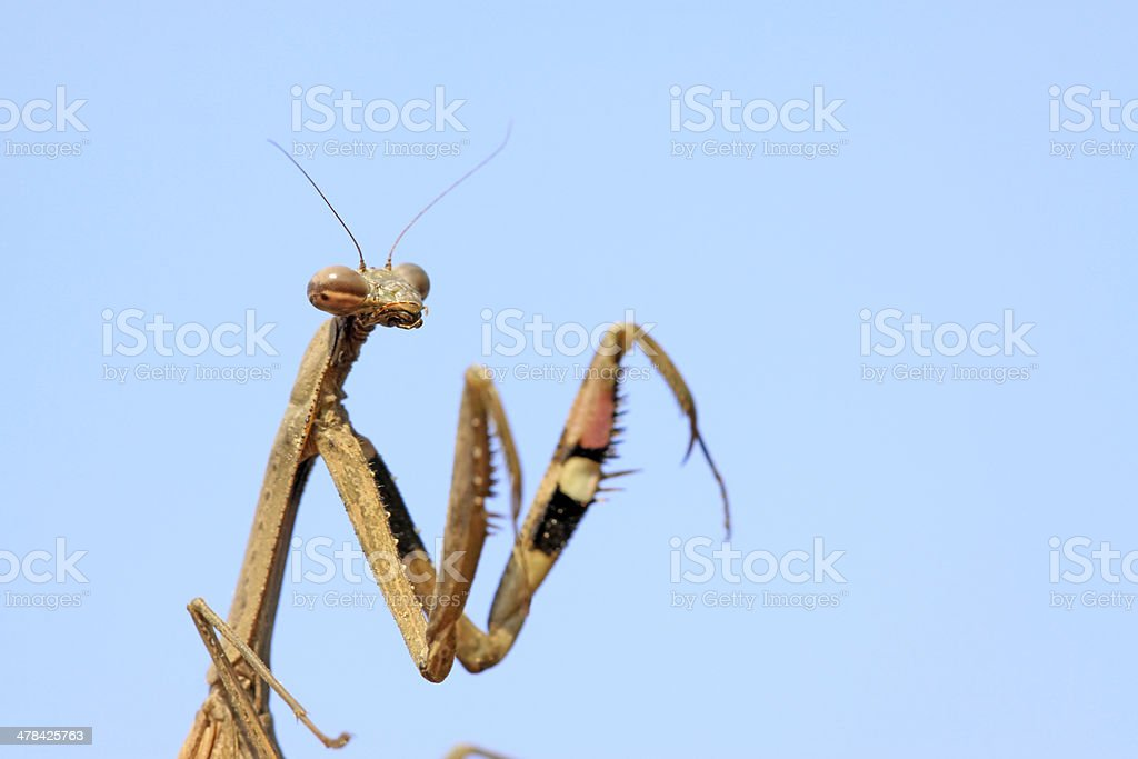mantis, its paws have colored stripes stock photo