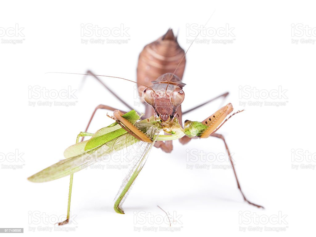 Mantis & Locust royalty-free stock photo
