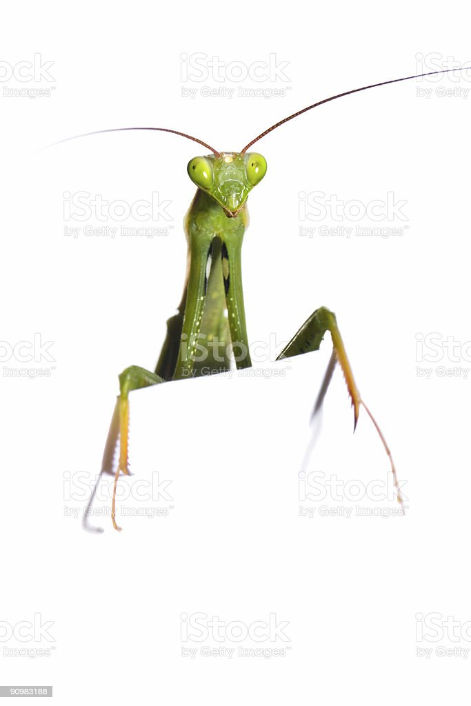 mantis look out stock photo