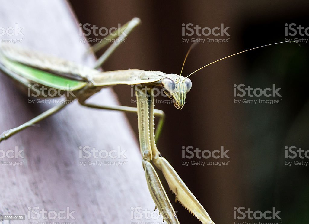 Mantis looking at the camera stock photo