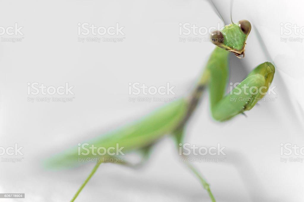 Mantis looking at viewer stock photo