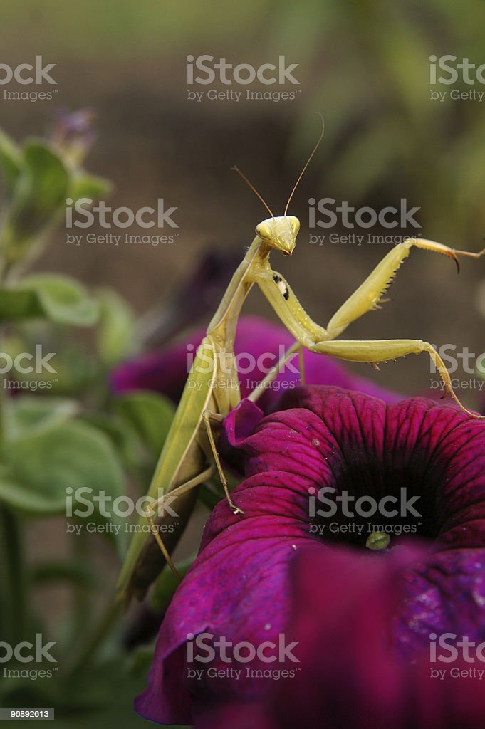 Mantis on the petunia royalty-free stock photo