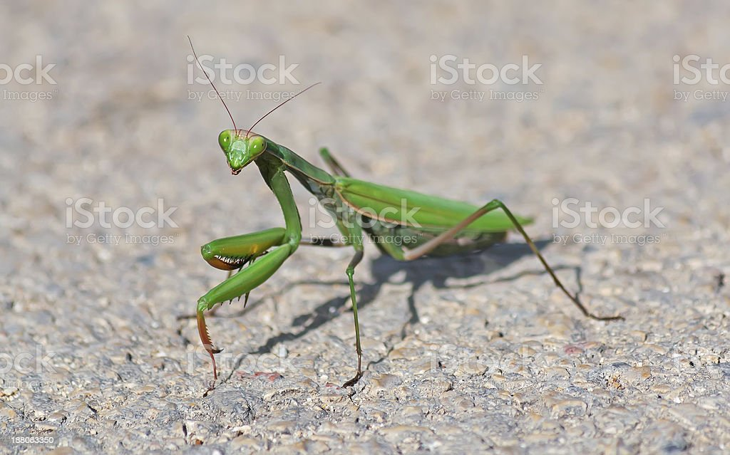 mantis on the street royalty-free stock photo