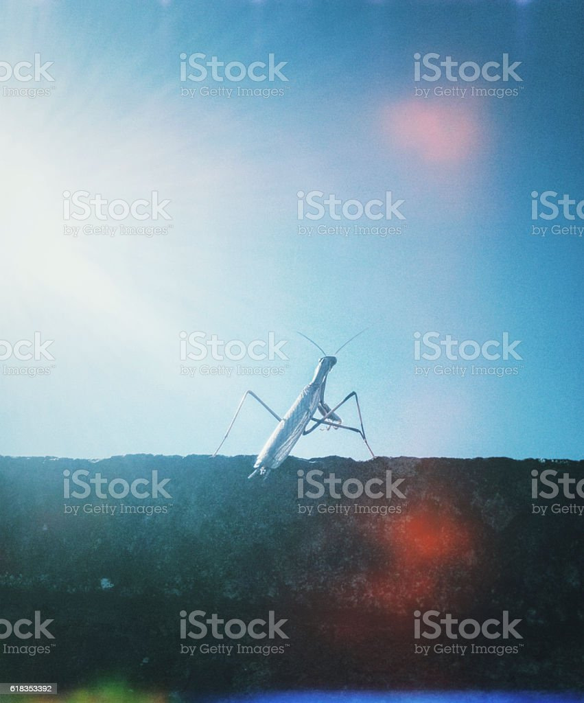 mantis on top of a boundary wall observes the horizon stock photo
