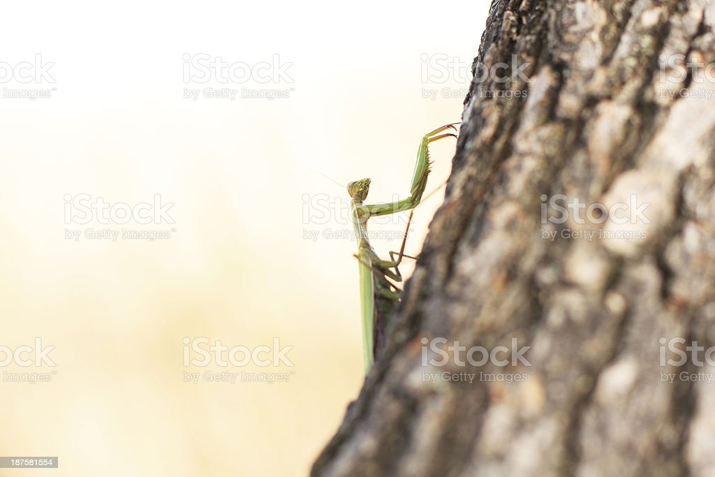 Mantis royalty-free stock photo