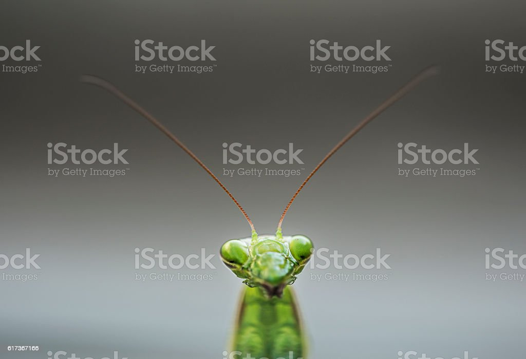 Mantis religiosa head stock photo