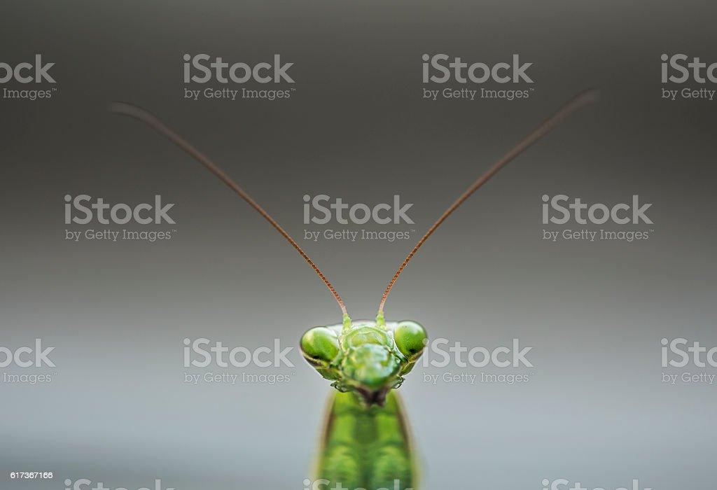 Mantis religiosa head stock photo