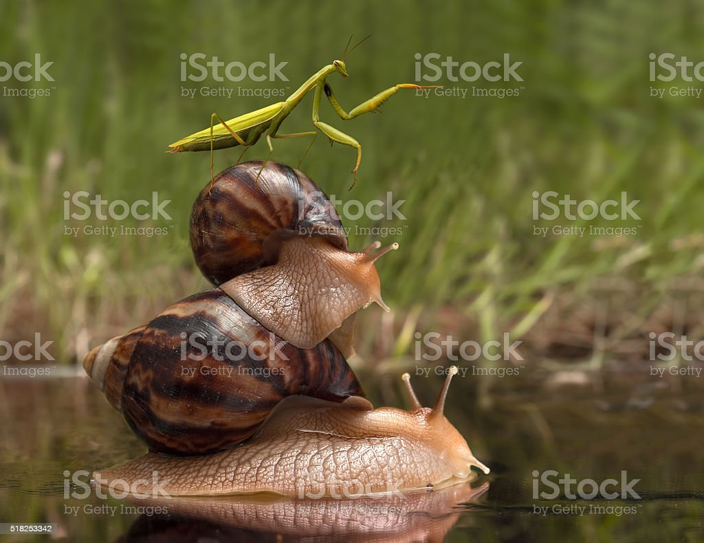 mantis riding on snails and indicates the direction stock photo
