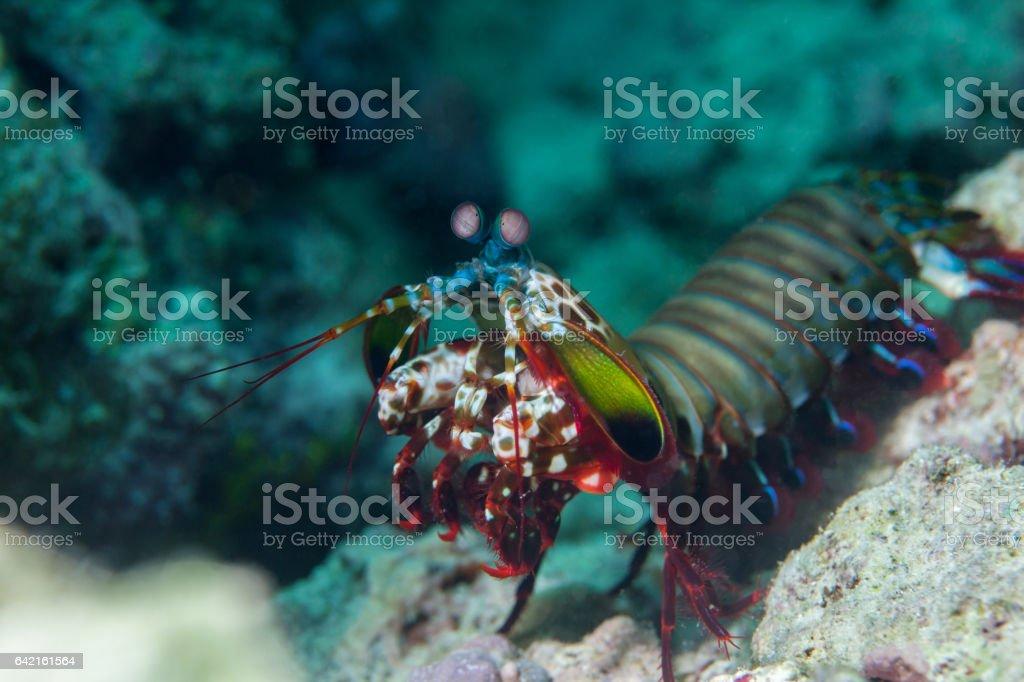 Mantis shrimp close-up. Sipadan island. Celebes sea. Malaysia. stock photo