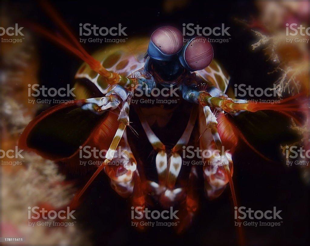 Mantis Shrimp royalty-free stock photo