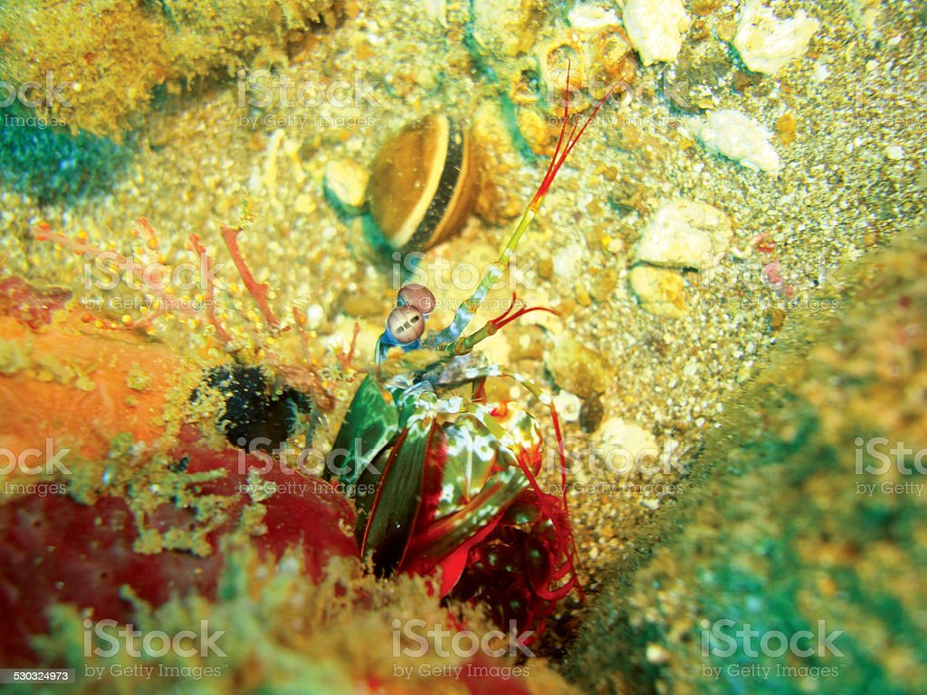 Crevette-mante photo libre de droits