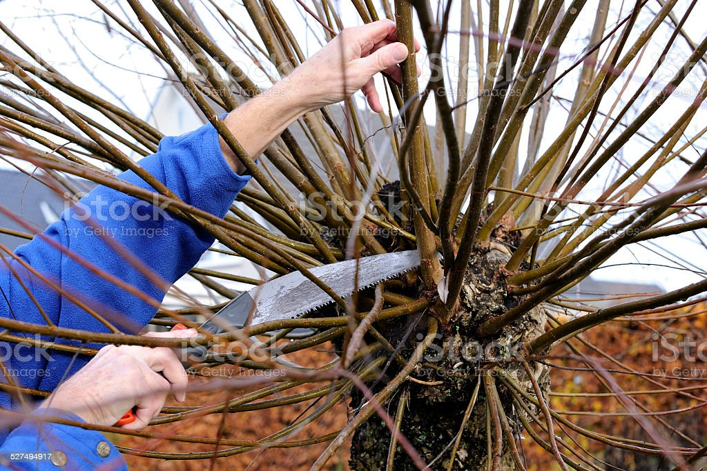 Manually pruning a willow tree with a small saw stock photo