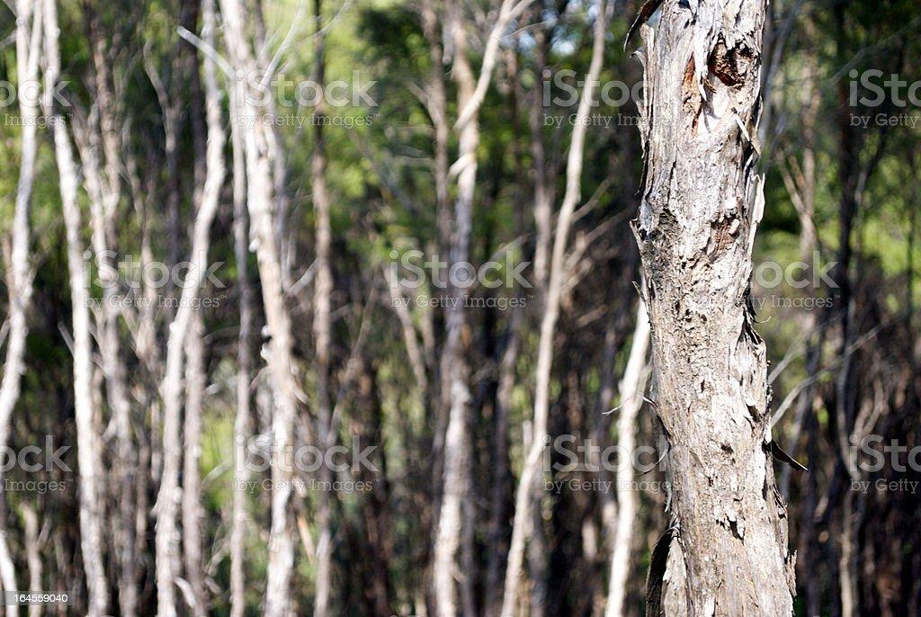 Manuka (Iron Tree) Bark royalty-free stock photo