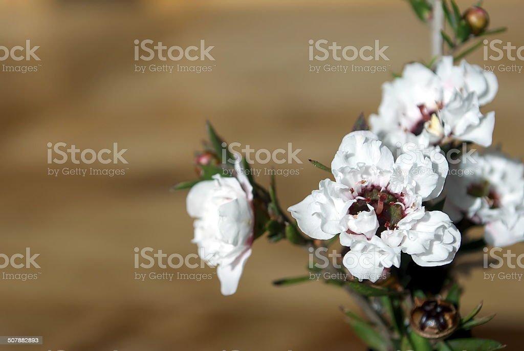 Manuka Flower royalty-free stock photo