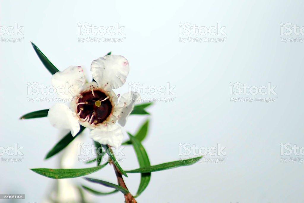 Manuka Flower stock photo