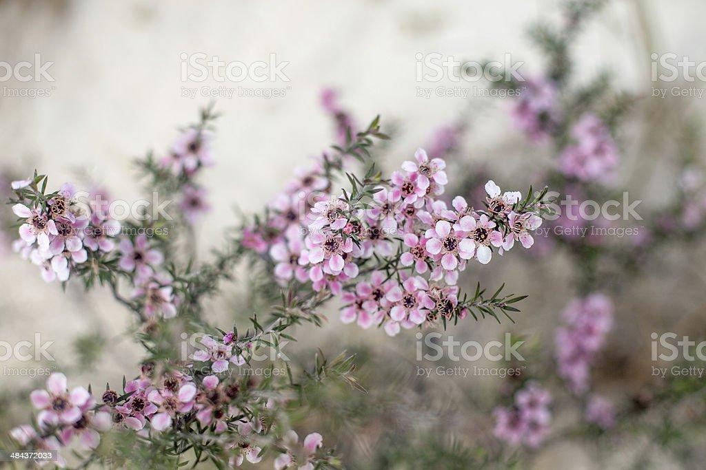 manuka flowers stock photo