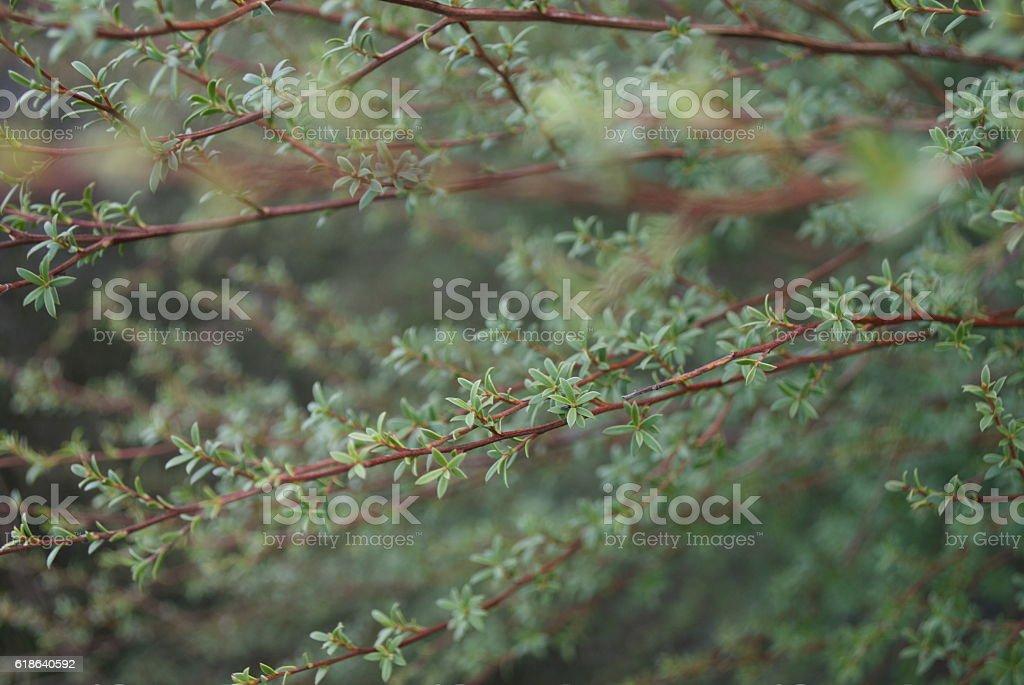 Manuka (Leptospermum scoparium) Tea Tree Branches stock photo