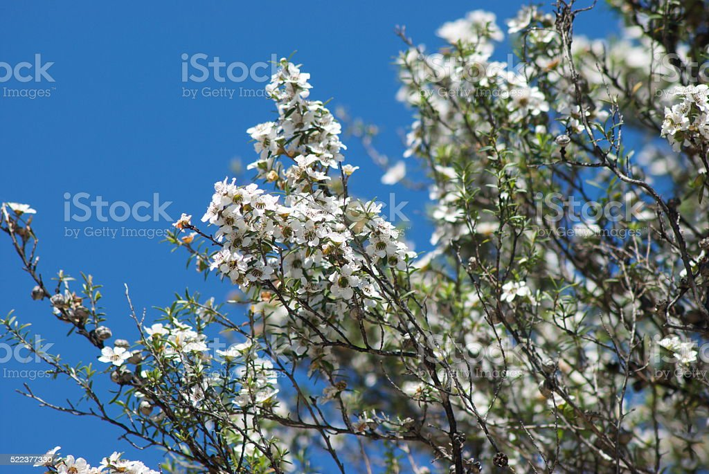 Manuka (Leptospermum scoparium) Tea Tree stock photo