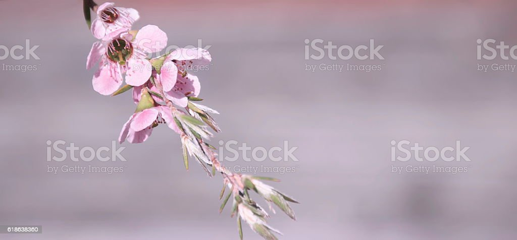 Manuka (Leptospermum scoparium) Tea Tree stock photo
