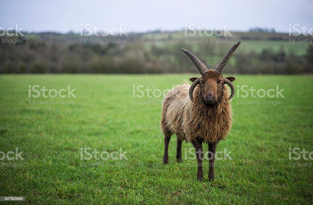 Manx Sheep stock photo