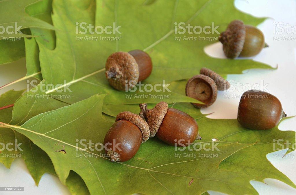 Many acorns next to the oak leaf on white background royalty-free stock photo