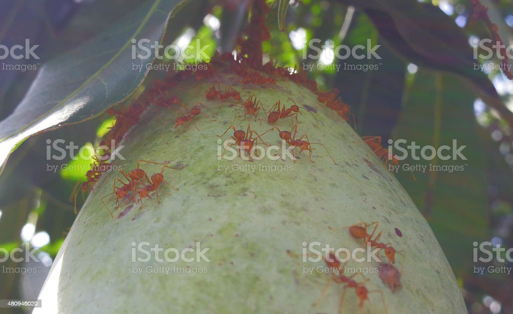 Many ants climb the mango stock photo