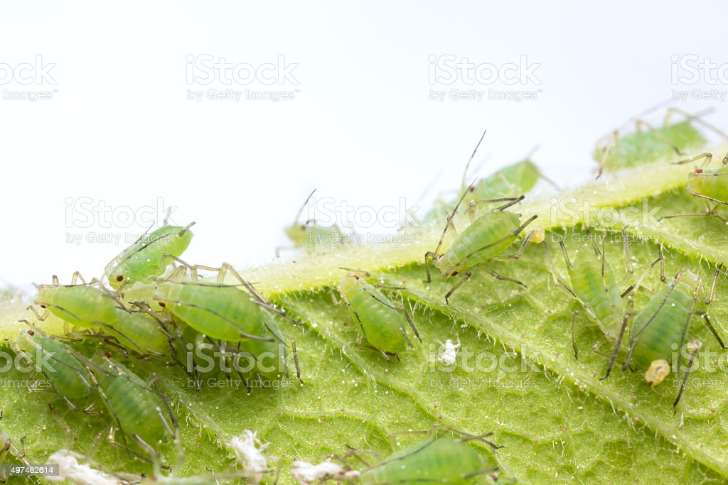 Many aphids on leaf stock photo