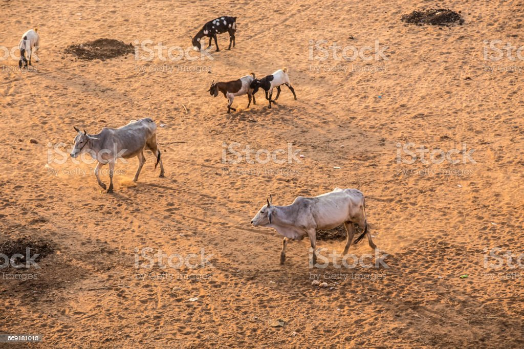 Many Asian cows are tricky. stock photo