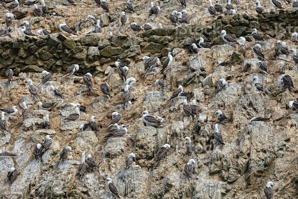Many birds in Ballestas Islands, Peru. stock photo