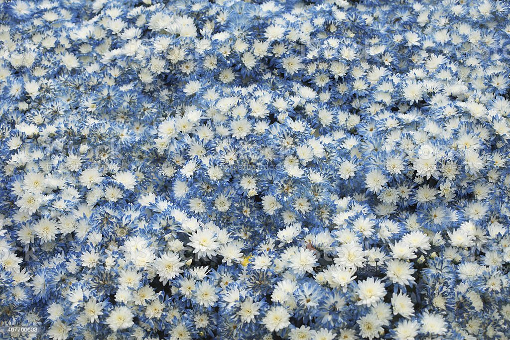 Many blue chrysanthemums stock photo