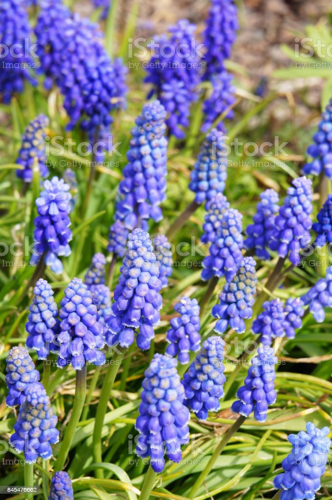 Many blue muscari flowers plant with green in garden stock photo