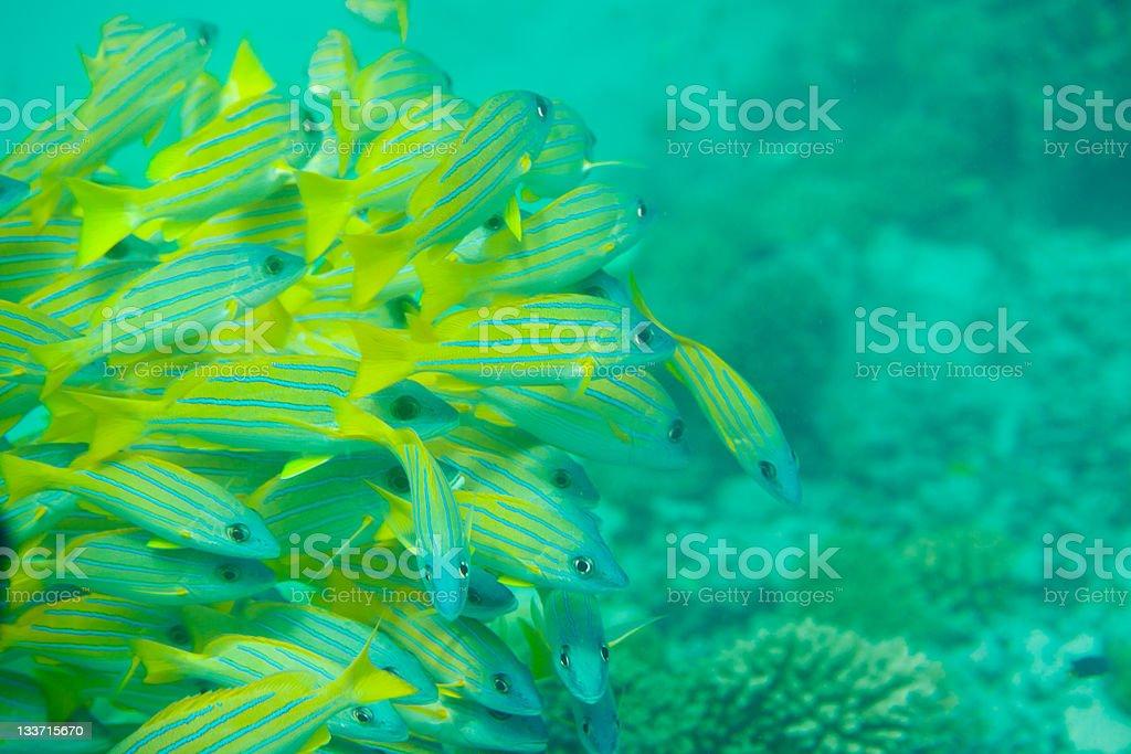Many Bluestripe snapper fish stock photo