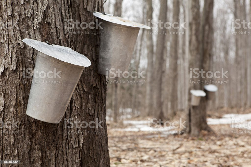 many bucket of maple sap royalty-free stock photo