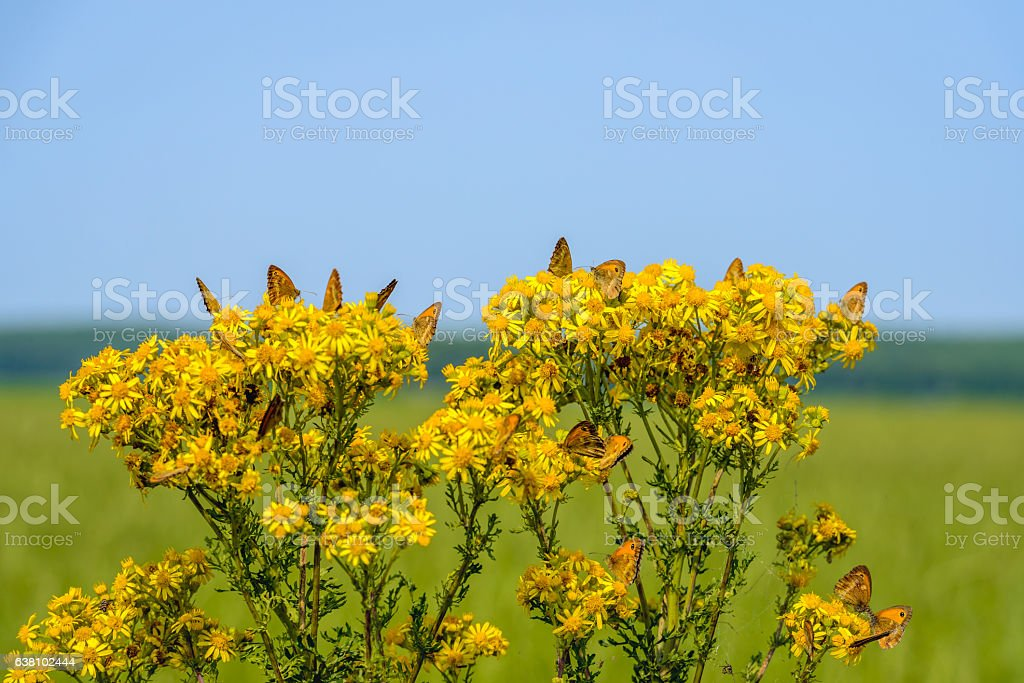 Many butterflies on yellow flowering common ragwort from close stock photo