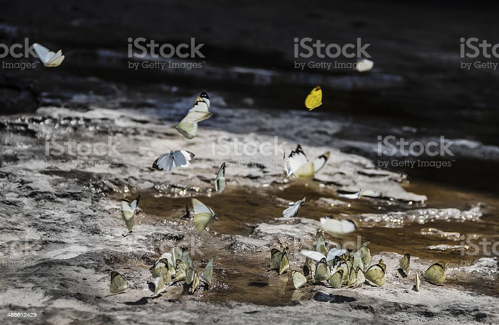 Many butterfly drinking water royalty-free stock photo