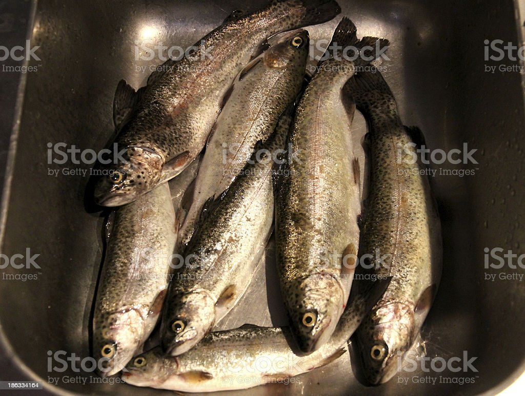 many captured trout ready to be cleaned royalty-free stock photo