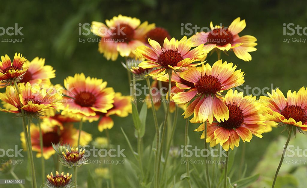 Many cockade flowers stock photo