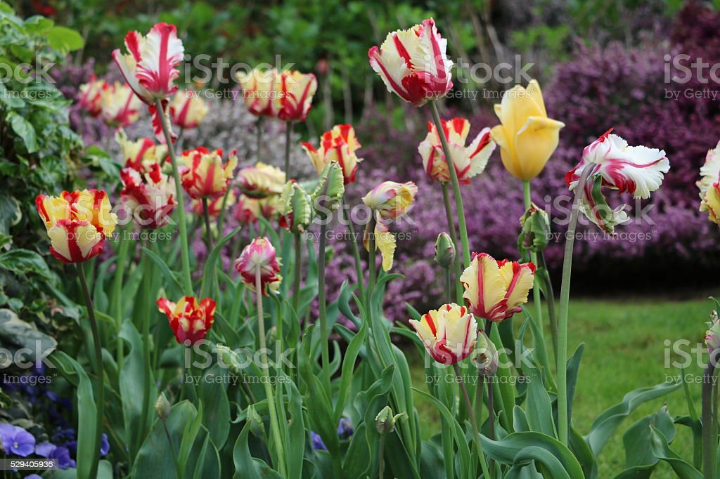 Many Colorful tulips bloom on Lake Maggiore in spring, Italy stock photo
