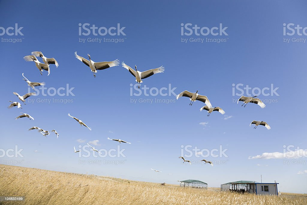 Many cranes flying mid air over a field stock photo