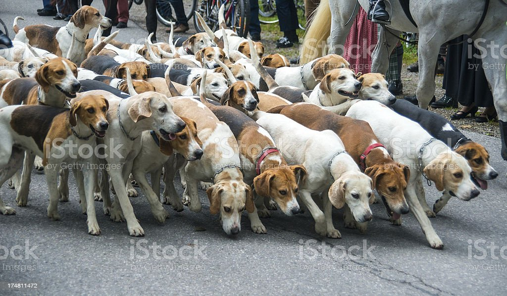 many dogs ready for hunting - Hunde auf der Jagd royalty-free stock photo