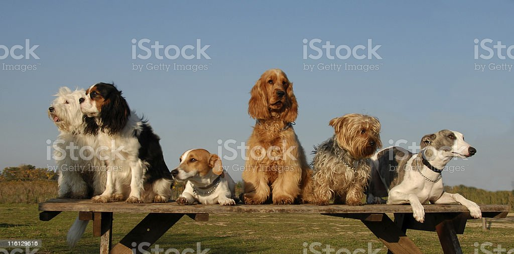 Many dogs sitting on a wooden bench royalty-free stock photo