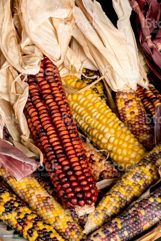 Many dried ears of Indian corn close up stock photo