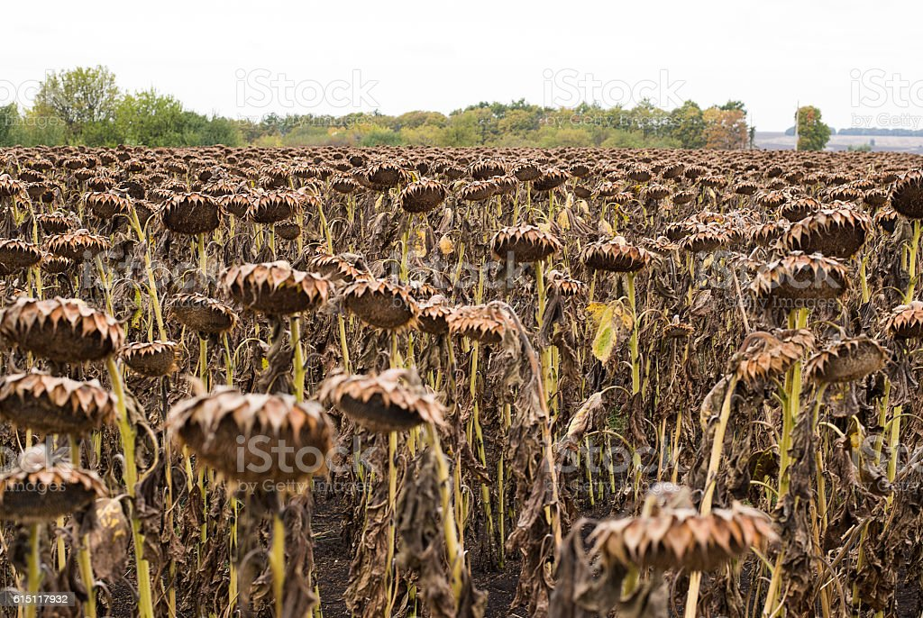 Many  dried sunflowers on a field in autumn stock photo