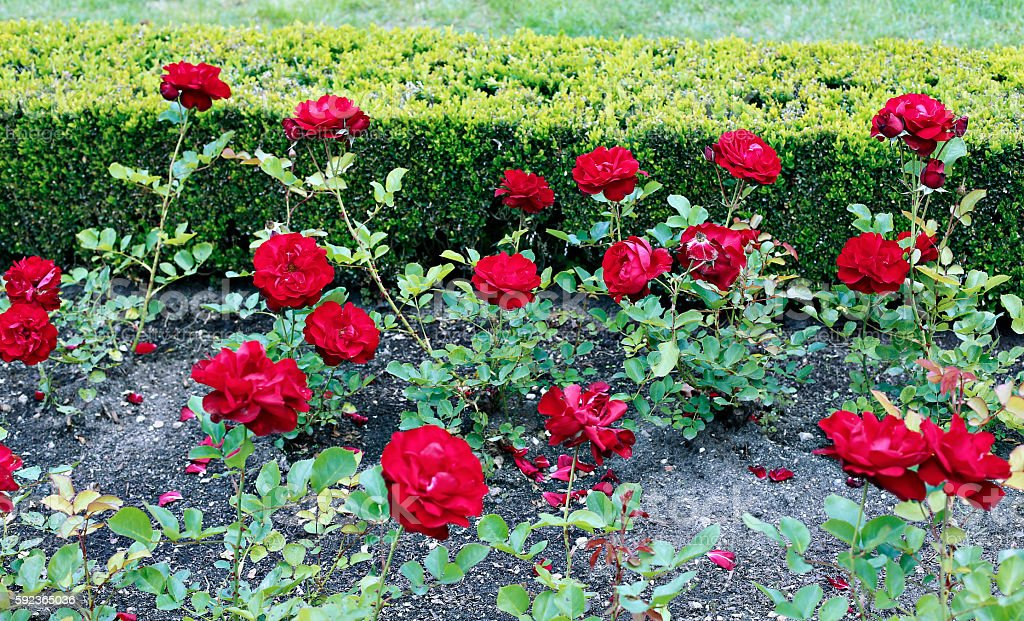 Many flowers of beautiful red roses stock photo