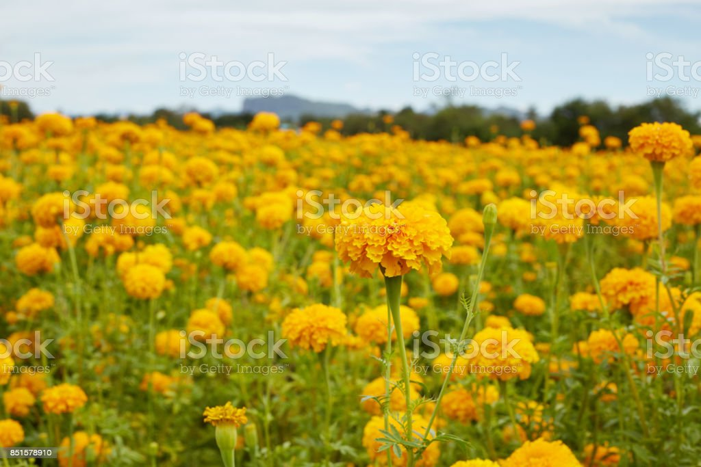 Many fresh marigold flowers (Tagetes) in the garden stock photo