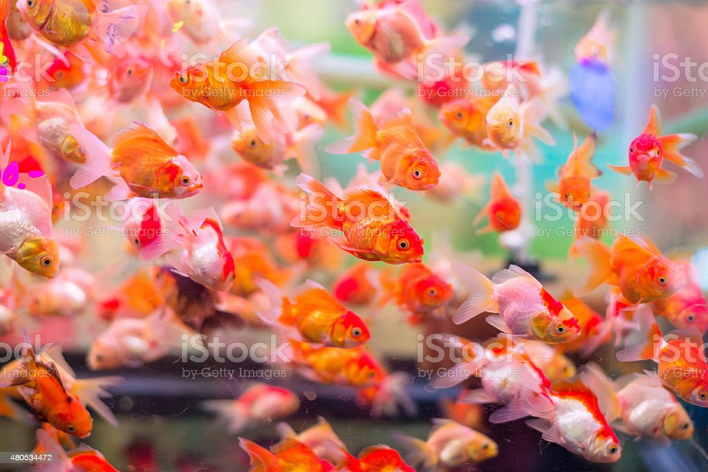 many gold fish in aquarium stock photo